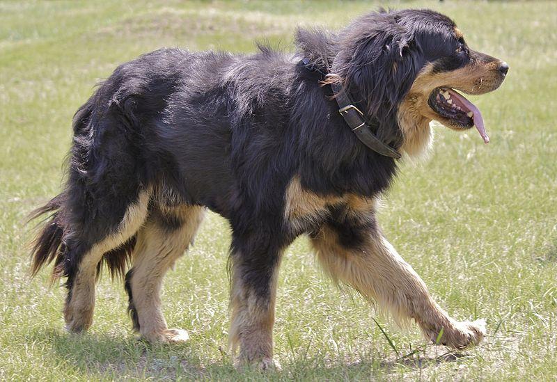 Állítólag az ősi hunok kutyája, a Hotoso.