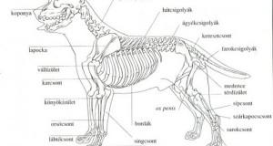A kutya anatómiai felépítése