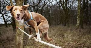 Ozzy a kötéltáncos rekorder kutya!