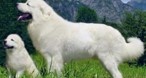 Lengyel hegyi juhászkutya
