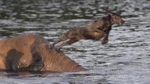 Egy elefánt és egy kutya barátsága