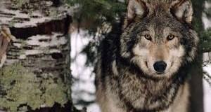 Nem félünk a farkastól