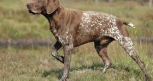 A német vizsla fajták helye a vadászati kultúrában